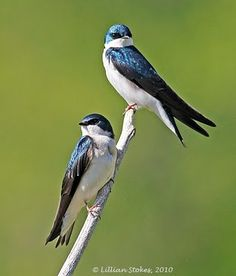 . . . beautiful tree swallows . . .
