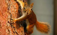 Camping Garden Paradiso green: Lo Scoiattolo - Das Eichhörnchen (Sciurus vulgaris...