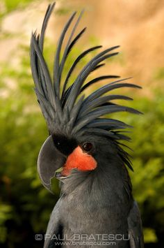 Birds: Goliath or Black Palm Cockatoo (Probosciger aterrimus) Exotic Birds, Colorful Birds, All Birds, Love Birds, Pretty Birds, Beautiful Birds, Australian Birds, Cockatoo, Bird Watching