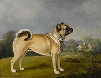 Pug - Wikipedia, the free encyclopedia 1802