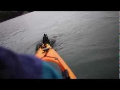 Otters Attack Kayak! (Sea Otter Love) I had this same experience last time I went kayaking in Elkhorn Slough. The otters are everywhere here and very friendly. Its a not to be missed experience for otter lovers