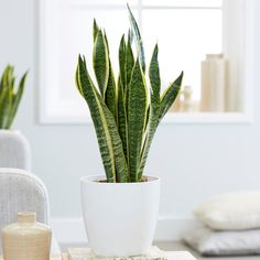 Buy mother-in-law's tongue / variegated snake plant Sansevieria trifasciata 'var. laurentii': Delivery by Waitrose Garden in association with Crocus Sansevieria Trifasciata, Living Room Plants, Bedroom Plants, Living Area, Air Cleaning Plants, Mother In Law Tongue, Chlorophytum, Gardening, Ideas