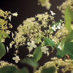 Hydrangea petiolaris - klimhortensia - Klimplanten | Maréchal