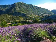 Champ de lavande dans la vallée de l'Oule, Hautes-Alpes, Drôme, Baronnies Provençales