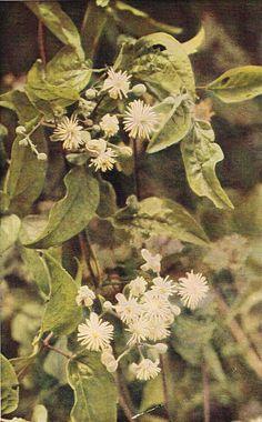 Wild Clematis - Antique 1912 Botanical Wild Flower Print by H Essenhigh Corke