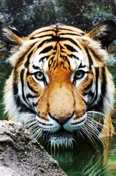 Bucket List #27: Pet a tiger (What is wrong with me?)