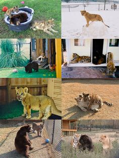 "Pictures of the ""BLT"" inseparable friends as young cubs after Noah's Art nursed them back to health  (15)"