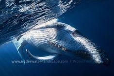 Baleine à bosse / Humpback whale #underwater #whale #humpbackwhale #cetacea #wildlife #geant #sea #ocean #baleine
