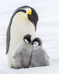 Look at the baby emperor penguins! - Look at the baby emperor penguins! Super Cute Animals, Cute Baby Animals, Funny Animals, Nature Animals, Animals And Pets, Wild Animals, Animals And Their Babies, Animals Tattoo, March Of The Penguins