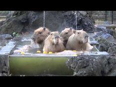 Capybaras Hot Tub
