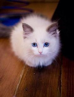 White fluffy kittens