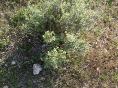 El romero pertenece a la familia lamiaceae.