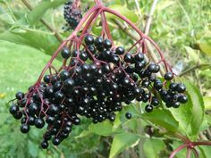 plantes-sauvages-sureau