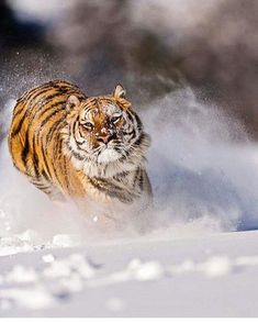 """8,547 Likes, 20 Comments - Animals - Wildlife (@wildlifeowners) on Instagram: """"Amur Tiger  Photo by @suhaderbent"""""""