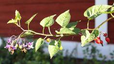 Kuvahaun tulos haulle koiso kasvi