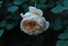 The lovely rescued Crown Princess Margareta rose at Humpty Dumpty House