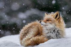 """Raposa """"banhando-se"""" de flocos de neve no Parque Nacional Shiretoko, no Japão. fotos da national geographic 2016"""