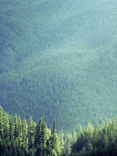 Mountain pines.