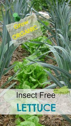 TSG: Growing LETTUCE Organically