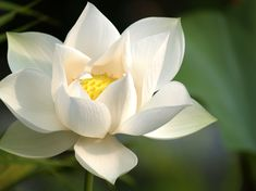 Lotus ['Shevata-Padma']: Nelumbo [Family: Nelumbonceae] – Symbolizes Purity, Creativity, and Nourishing Qualities White Lotus Flower, Blue Lotus, White Flowers, Beautiful Flowers, Lotus Flowers, Beautiful Life, Art Flowers, Kundalini Mantra, Kundalini Yoga