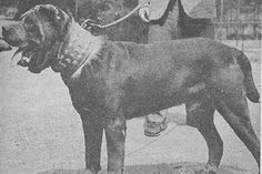 """The breed is commonly referred to as the """"Mastiff"""". Also known as the English Mastiff this giant dog breed gets known for its splendid, good nature. Black Mastiff, Neo Mastiff, Mastiff Dogs, Giant Dog Breeds, Rare Dog Breeds, Giant Dogs, Mastiff Puppies For Sale, English Mastiff Puppies, Napoleon Mastiff"""