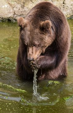 A bear drinking water out oma river Nature Animals, Animals And Pets, Cute Animals, Black Bear, Brown Bear, Urso Bear, Mon Zoo, Photo Animaliere, Love Bear