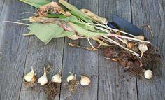 : Выкопанные луковицы