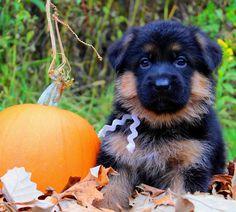 Julie Martinez Mittelwest World class German Shepherd Dog imports, breeder, puppies for sale, german shepherds for sale, stud services.#juliemartinezgermanshepher