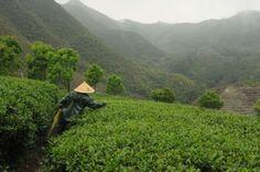 Fuding, Fujian, China - harvesting our 2014 Bia LIn Congfu (#6) www.josephwesleytea.com