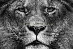 Leeuwenkop in zwart wit fotobehang 470513 200 grams, AP Digital 2 van Architects Paper