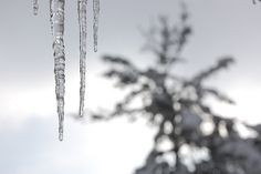 cold It's Coming, Ice Princess, Dandelion, Things To Come, Cold, Plants, Dandelions, Plant, Taraxacum Officinale