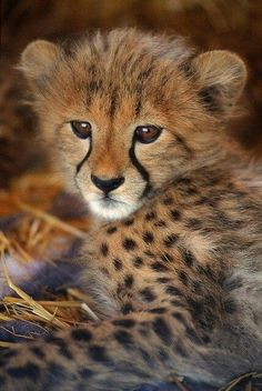 Cheetah cub Amazing World beautiful amazing
