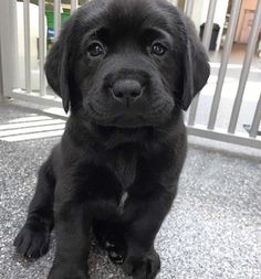 The properties we love about the Active Chocolate Labrador Puppy .-- The properties that we have at Active Chocolate Labrador Puppy love …, Black Puppy, Black Lab Puppies, Cute Puppies, Dogs And Puppies, Corgi Puppies, Puppy Husky, Fluffy Puppies, Puppy Chow, Small Puppies