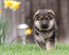 german shepherd    Like, repin, share! :)