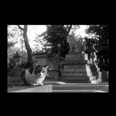 https://flic.kr/p/BFtjom | Cat December 2015  #cat #photograph #blackandwhitephotography