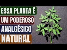 INCRÍVEL!! Essa PLANTA é um ANALGÉSICO Natural Que Funciona Como MORFINA! | Control, Natural, Medicine, Signs, Youtube, Olive Oil Cake, Perfect Breakfast, Hormone Balancing, How To Make Tea