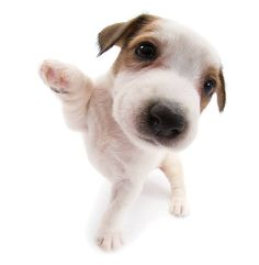 Artlist Collection THE DOG Jack Russell Terrier — Hi there!