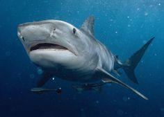 Tiger Shark Eating | Tiger Shark - Best Animals