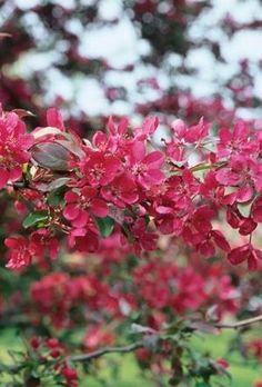 Crab Apple Malus Profusion - Tree