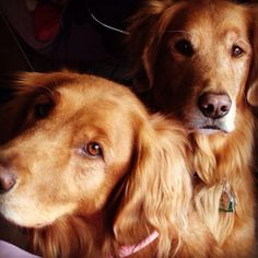 Beautiful Golden pair