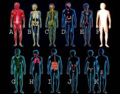 The 11 organ systems of the human body work together to maintain life and health.
