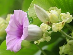 Hawaiian Baby Woodrose, is a perennial climbing vine, also known as Elephant Creeper and Woolly Morning Glory. Native to the Indian subcontinent and introduced to numerous areas worldwide, including Hawaii, Africa and the Caribbean.