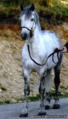 Dark Edition Connemara Pony, Ponies, Dark, Animals, Animales, Animaux, Animal, Pony, Animais