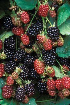 Plant Low-Maintenance Blackberries;  Tame Wild Blackberries; Cultivated Varieties of Blackberries