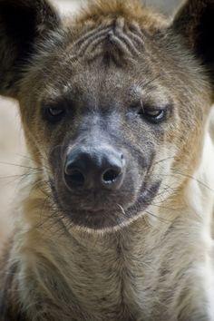 Hyena (by kenewton)