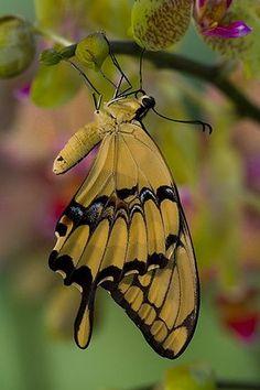 ~Papilio thoas - Thoas Swallowtail Butterfly~
