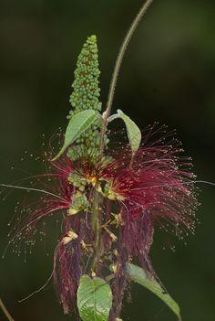 Flower of Panama