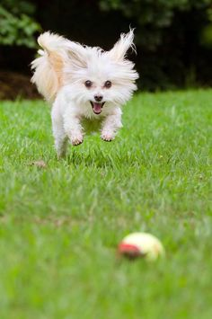 """""""I'll get it!...I'll get it!""""...  Click on this image to find more pictures of #Maltese #dogs"""