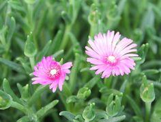 사철 채송화(두산백과) 꽃이다.솔잎채송화, 송엽국 이라고 부른다.잎이 솔잎처럼 생겨서 생김새를 보...