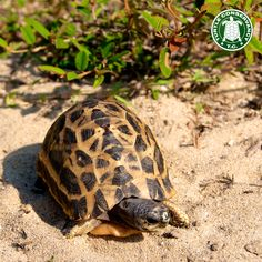 Critically Endangered Spider Tortoise (Pyxis arachnoides oblonga) foraging in southern Madagascar.